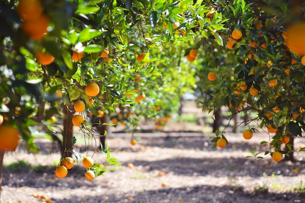 オレンジの木のフルーツ、beautigulのオレンジの運転