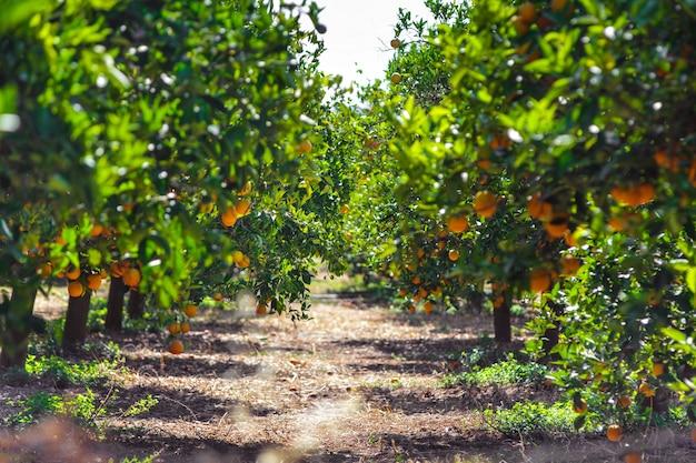 オレンジの木と果物、beautigulはオレンジを運転しました。オレンジの木からぶら下がっている熟した有機オレンジ。
