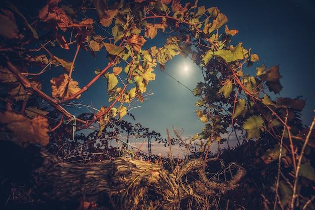 月明かりの夜の秋の時間の収穫の準備ができてそして収穫の準備ができている美しいブドウ園の風景