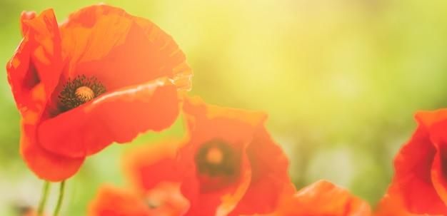 Beautiuful poppy flower on the field. closeup. flower background.