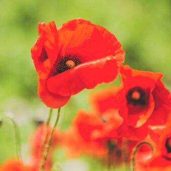 Красивый цветок мака на поле. крупный план. квадрат