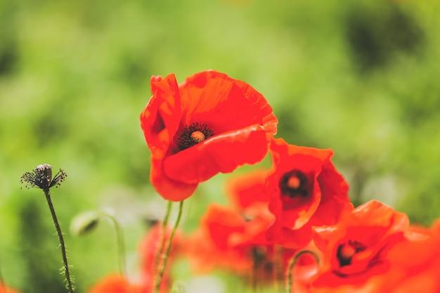 Красивый цветок мака на поле. крупным планом