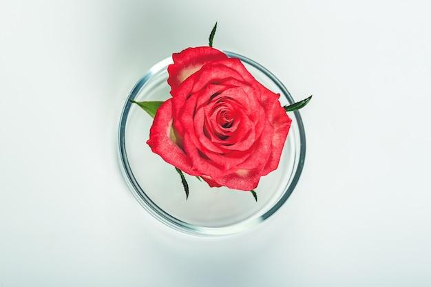 녹색 잎과 분홍색 장미를 페트리 접시에 담은 뷰티 배경 메이크업 화장품