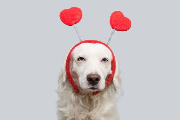 Beauty dog in love for happy valentines day with red heart shape diadem.