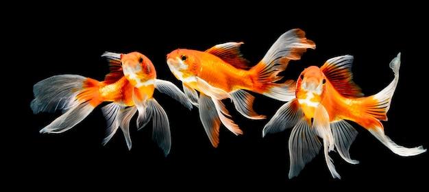 黒の背景に水中を泳ぐ美魚