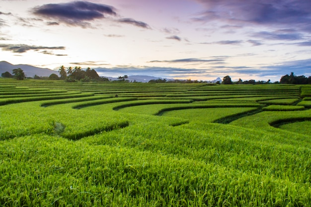 The beauty of the morning on the terrace of a beautiful rice field with minimalist green rice