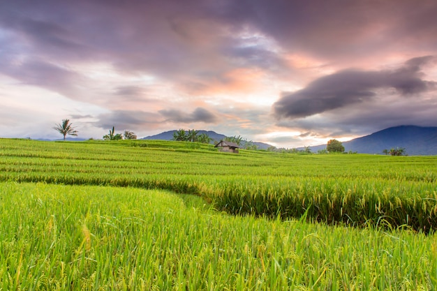The beauty of the morning on the terrace of the beautiful rice field with yellowing rice and burning sky