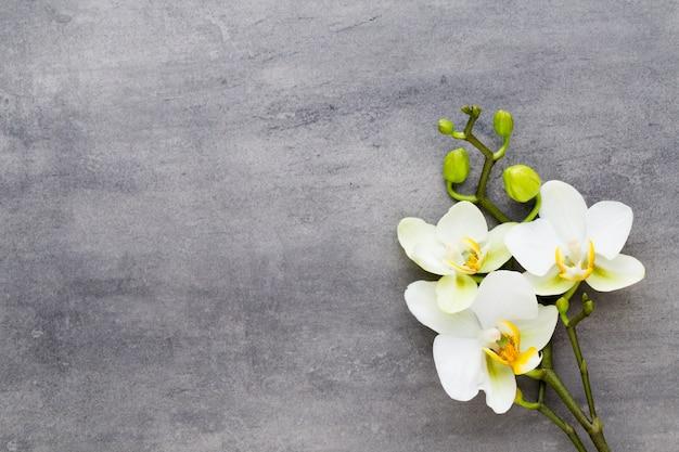 灰色の蘭の美しさ。