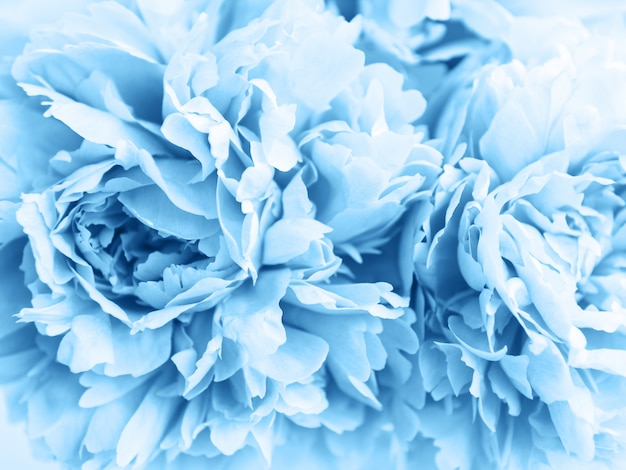 Beauty  peony flowers in classic blue color