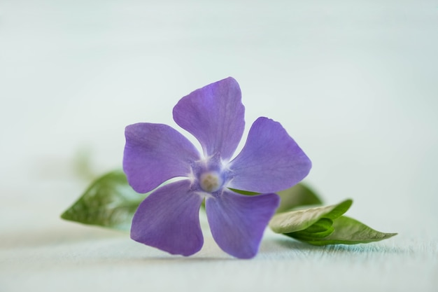 Beauty periwinkle on light wooden table