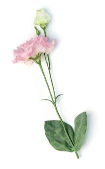 白で隔離される美しさピンクのトルコギキョウの花。