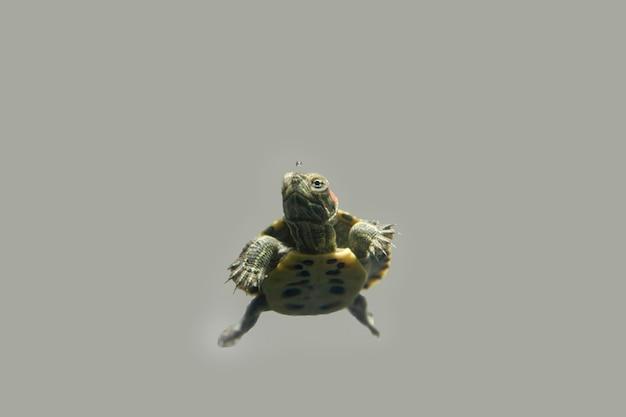 회색 배경에 거북이 거북이의 아름다움 초상화
