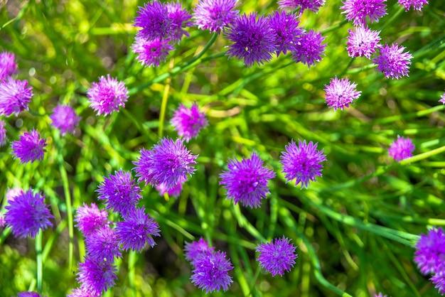 Красота фиолетовая текстура и потрясающая цветочная композиция. закройте персидский лук. лучшая цветочная картинка для обложек, баннеров, постеров.