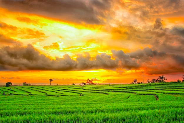 The beauty of rice fields with a blazing sky in north bengkulu, indonesia