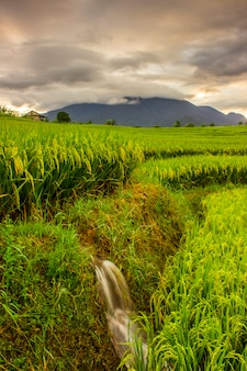 The beauty of rice in the morning with yellowing and gunug colors and beautiful clouds