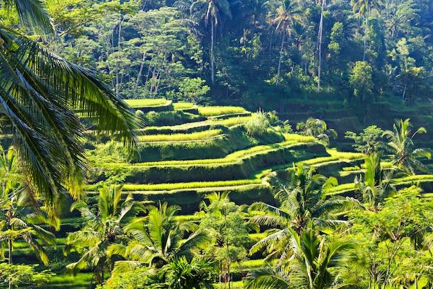 Beauty rice terrace