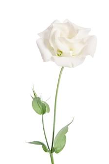 白で隔離の美しさの白い花。トルコギキョウ