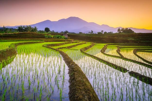 The beauty of yellow in the morning on the rice terraces of kemumu, bengkulu utara, indonesia
