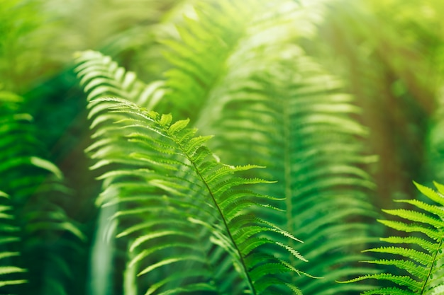 Beautyful ferns leaves green foliage natural floral fern in sunlight