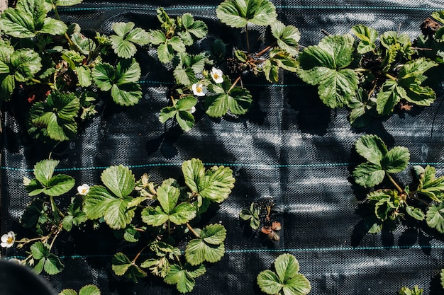 A bed under a black film with flowering and fruiting strawberry bushes