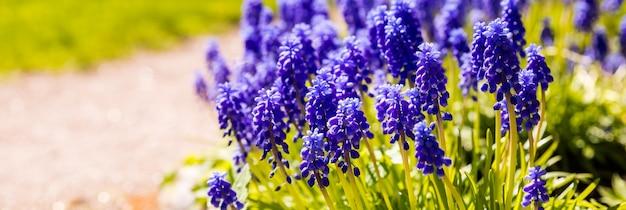 Клумба из колокольчиков или виноградных гиацинтов или мускари armeniacum. мускари обильно цветут оригинальными соцветиями с мелкими голубыми цветками.