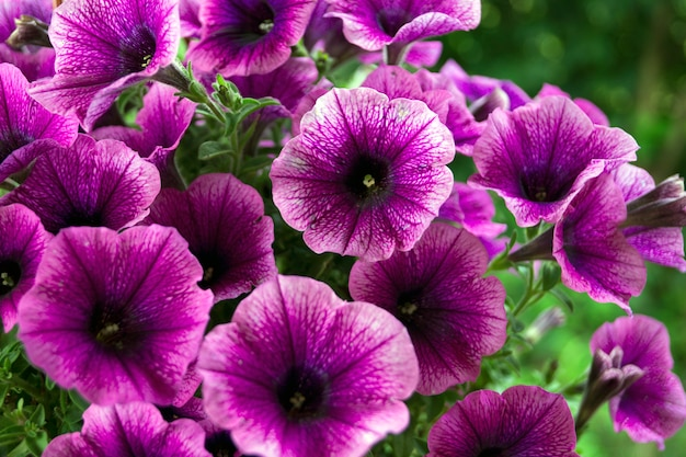A bed of purple petunias (petunia grandiflora).