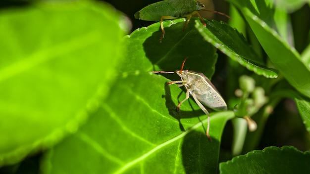 Bedbug on the leaves (halyomorpha halys) in spring time, image taken in macro lens