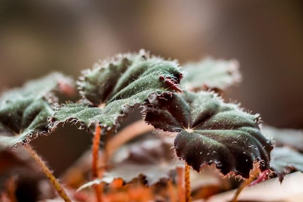 緑と赤のヌードの葉を持つベドニアベゴニア