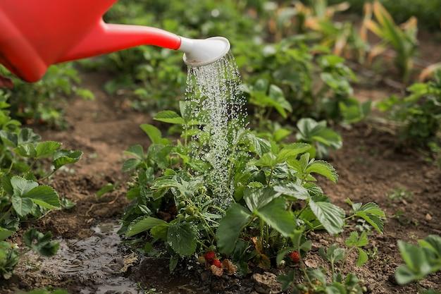 Грядки с клубникой в саду поливают из красной лейки.