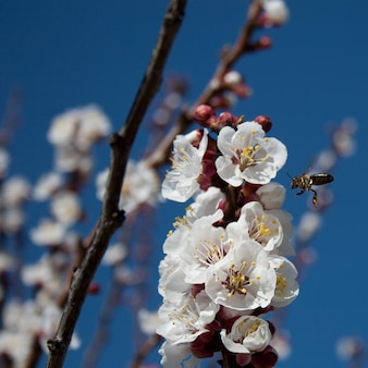 A bee in almond flower