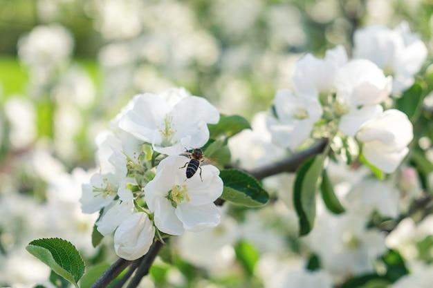 벌과 사과 나무 꽃