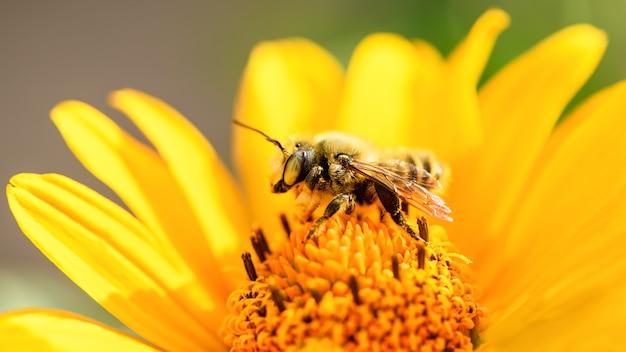 Пчела и цветок. крупным планом большая полосатая пчела, собирающая пыльцу на желтый цветок в солнечный яркий день. летние и весенние фоны. макро фотография