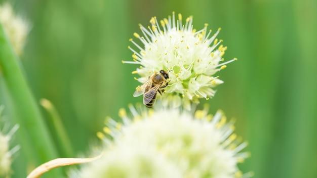 Пчела и цветок. крупным планом большая полосатая пчела, собирающая пыльцу на луковом цветке. летние и весенние фоны