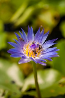 Bee on beautiful lotus flower.