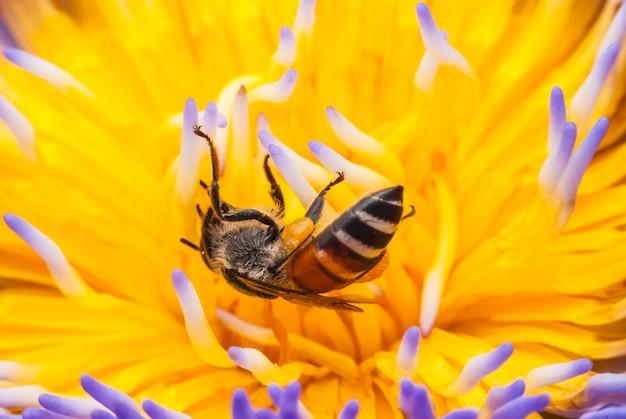 Bee on beautiful lotus flower.