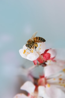Bee close-up collects nectar in apricot flowers