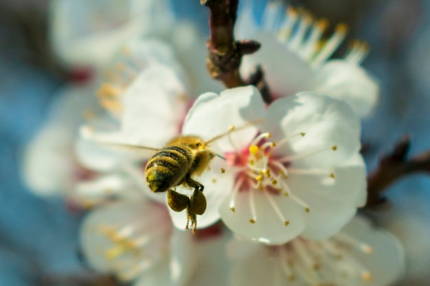 Bee close-up pollinating blooming apricot