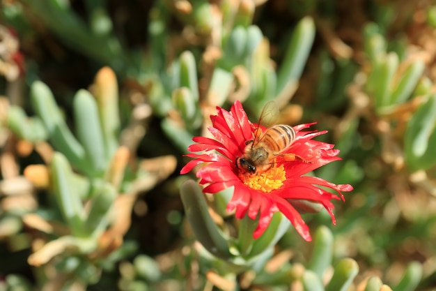 Bee collecting nectar on bright red color karkalla