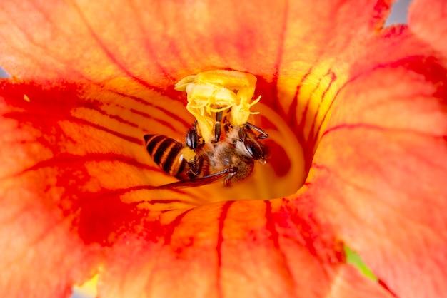 赤い花から花粉を集める蜂