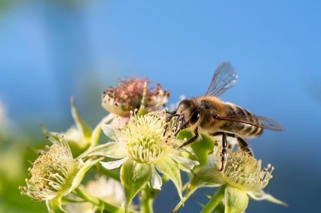 夏の日差しの中で花粉を集めるミツバチ