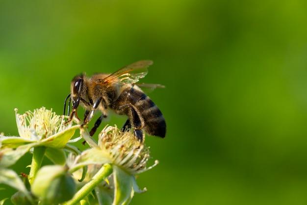 Пчела собирает пыльцу под лучами летнего солнца
