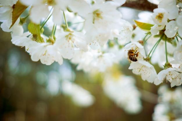 蜂は咲く木から蜜を集めます。春のコンセプトです。