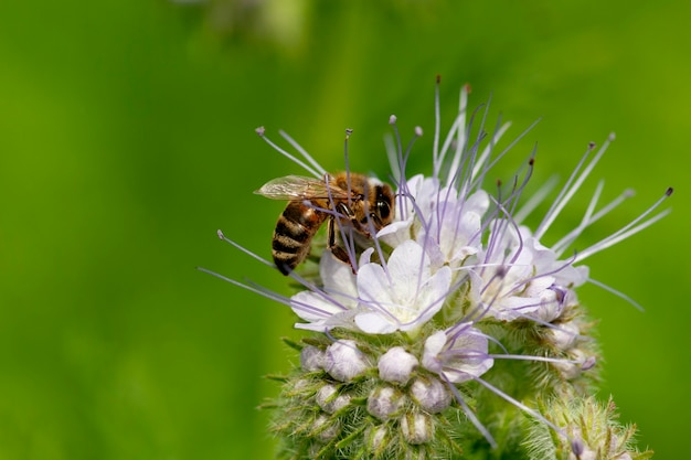 A bee collects nectar from a phacelia flower.