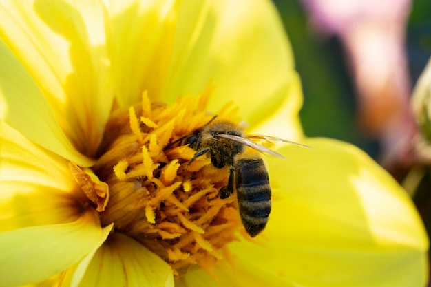 A bee collects nectar from a yellow flower on a sunny summer day.