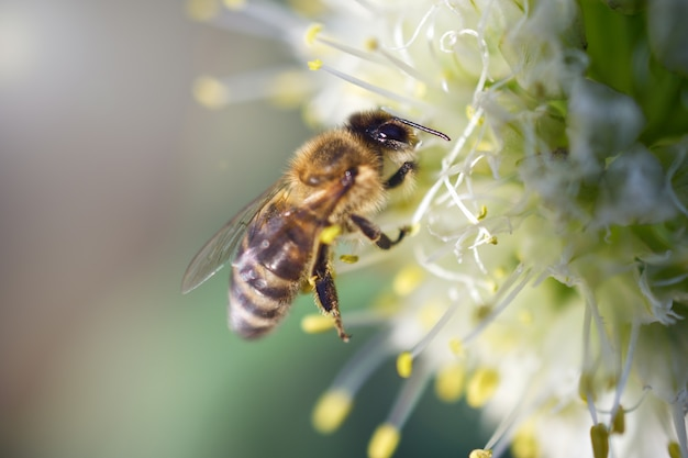 The bee collects nectar on a white onion flower. the collection of nectar. honey harvest. macro photo