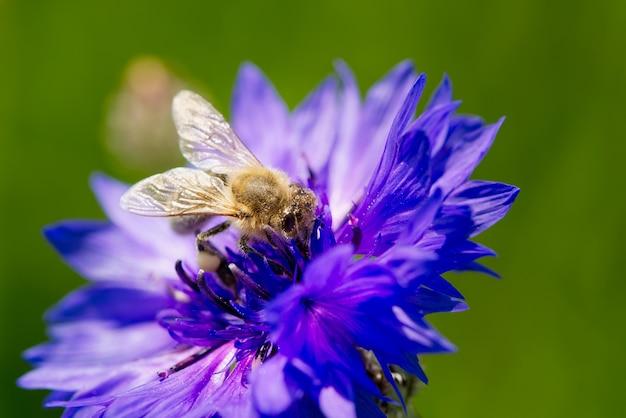 꿀벌은 자연 배경에 꿀벌이 가까이 있는 수레국화 푸른 수레국화에서 꽃가루를 수집합니다