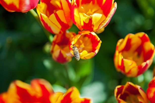 Bee collects pollen on tulips, flower-bed with tulips blossoming in different shapes and colors, the first spring tulips in the park