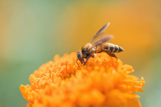 Bee on double orange marigold, genus tagetes, or species calendula officinalis brighten
