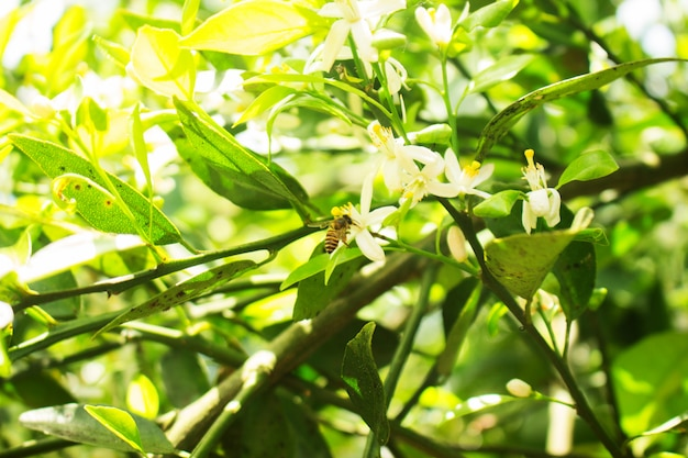 Bee drink citrus sinensis white flower