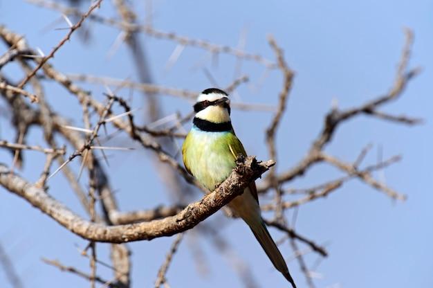 アフリカのサバンナの枝でハチクイ Premium写真